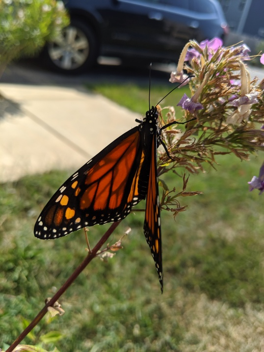 Mimi butterflies 2019